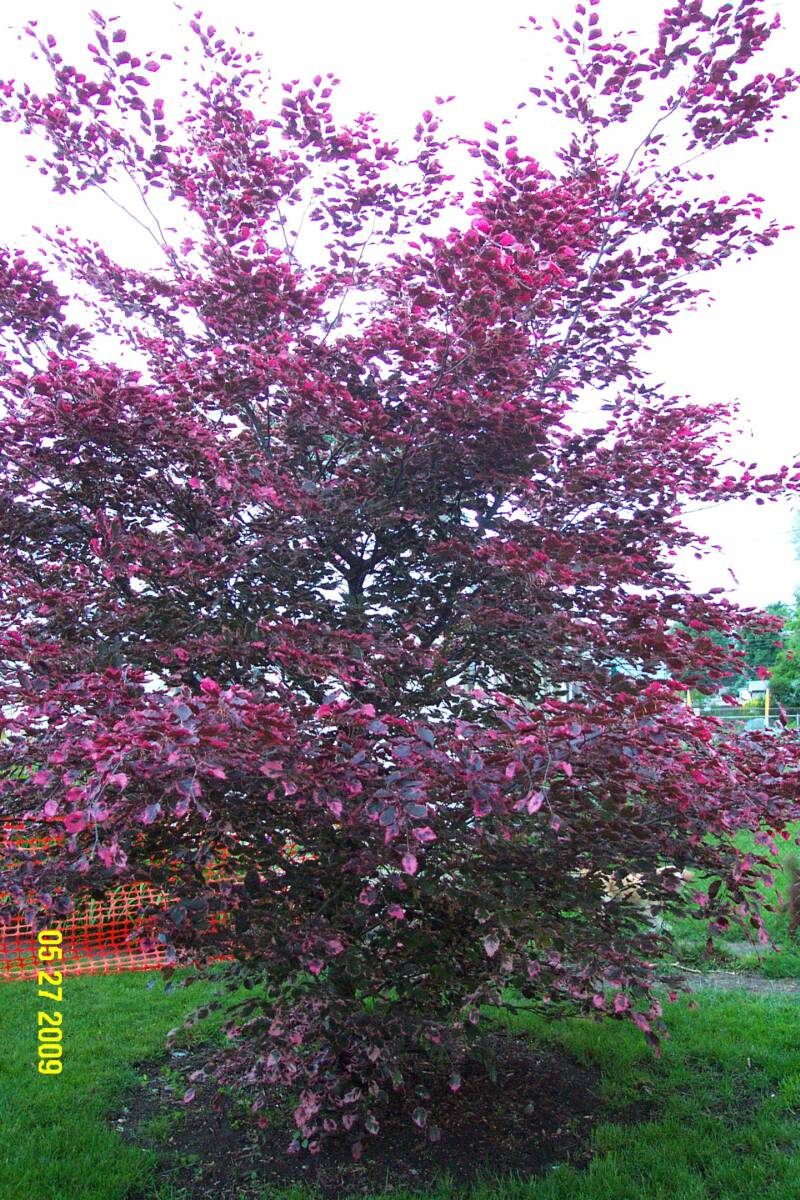 Tri Color Beech in spring color